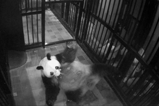 Le panda Shin Shin et son bébé, sous... (Photo Agence France-Presse)