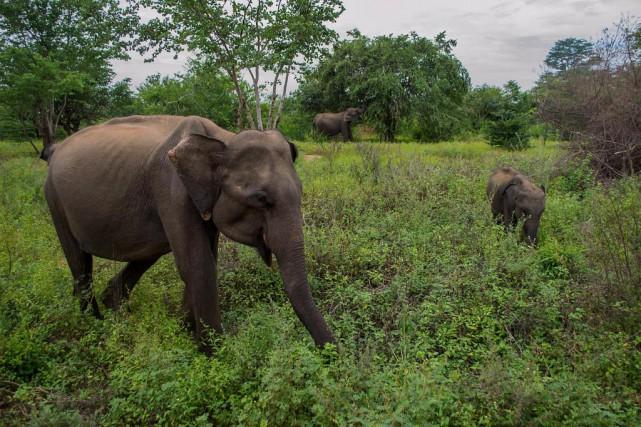Scène d'un safari au parc national d'Uda Walawe,... (Photo Joëlle Girard, collaboration spéciale)