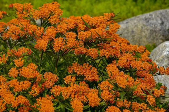 Asclépiade tubéreuse... (www.perennialresource)