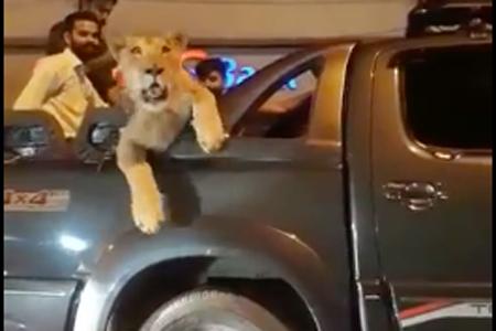 Une lionne museau au vent à l'arrière d'une camionnette dans les rues... (Image tirée de Facebook)