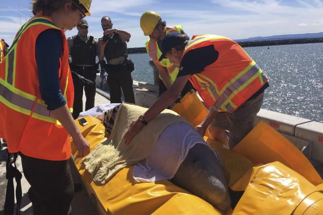 Les sauveteurs ont réussi jeudi à diriger le... (La Presse canadienne, Pêches et Océans Canada, GREMM)