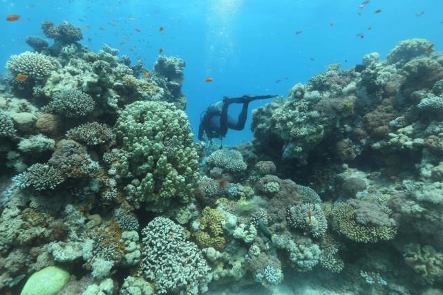 Souvent pris pour des végétaux, les coraux «sont... (PHOTO MENAHEM KAHANA, AFP)