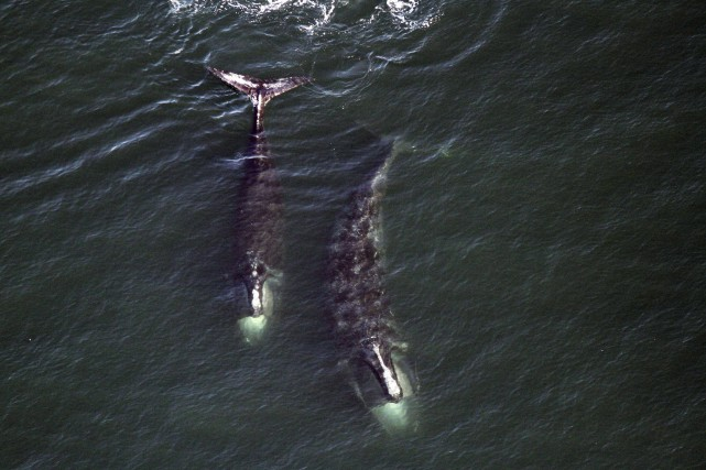 La biologiste Cathy Merriman souligne que cette série... (Photo Associated Press / Center for Coastal Studies)