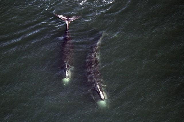 La biologiste Cathy Merriman souligne que cette série... (AP, Center for Coastal Studies)