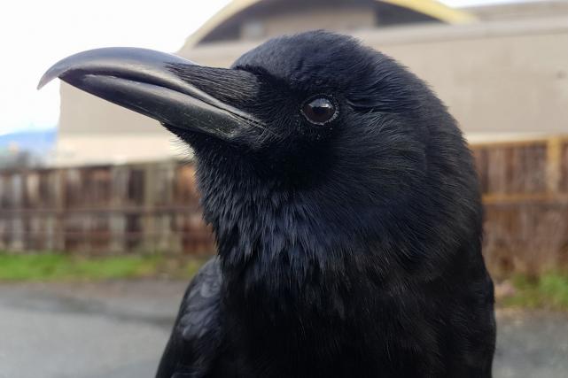 «Canuck» le corbeau a développé des liens privilégiés... (Facebook)