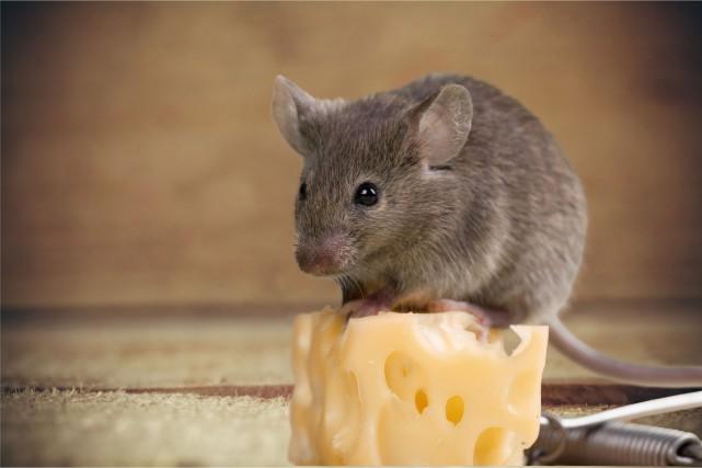 Un mulot, ou une souris, à nourrir avec... (Archives 123rf)