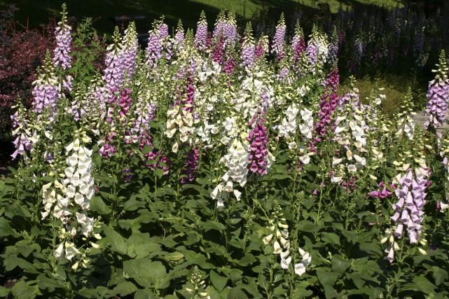 Digitale pourpre... (www.jardinierparesseux.com)
