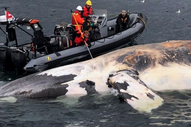 Les experts souhaitent déterminer si ces récentes morts... (Photo fournie par la Marine Animal Response Society)