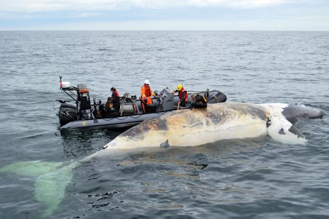 Six baleines noires ont été trouvées sans vie,... (Fournie par Pêches et Océans Canada)