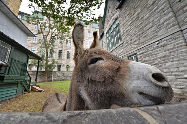 L'âne Aldo et sa compagne, la chèvre Holy, habitaient depuis 2011 les abords de... (Le Soleil, Patrice Laroche)