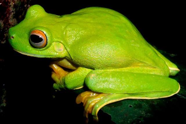 Dix espèces de grenouilles ont survécu à l'extinction... (ARCHIVES AFP)