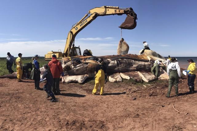 Les six baleines noires de l'Atlantique Nord trouvées... (La Presse canadienne)