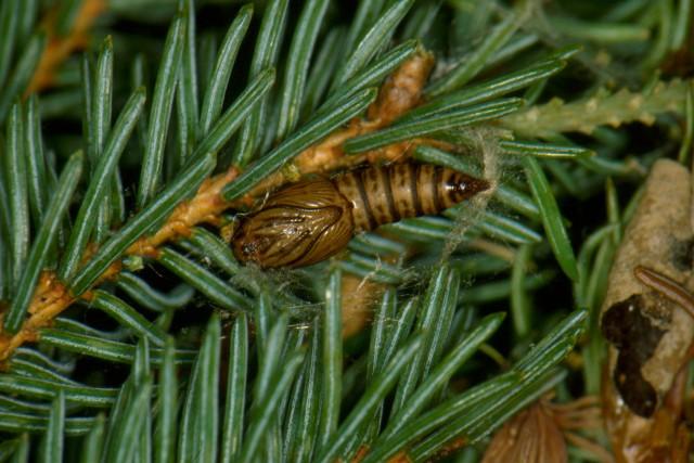 Voici à quoi ressemble la tordeuse du bourgeon... (Photos courtoisie, ressources naturelles canada)