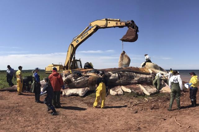 Une des carcasses de baleines noires mortes mystérieusement... (Archives La Presse canadienne, Marine Animal Response Society)