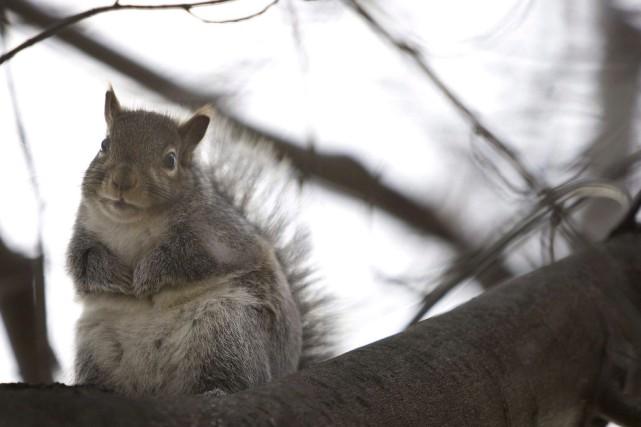 «Les écureuils gris et rouges sont natifs de... (Archives La Presse canadienne, Chris Young)
