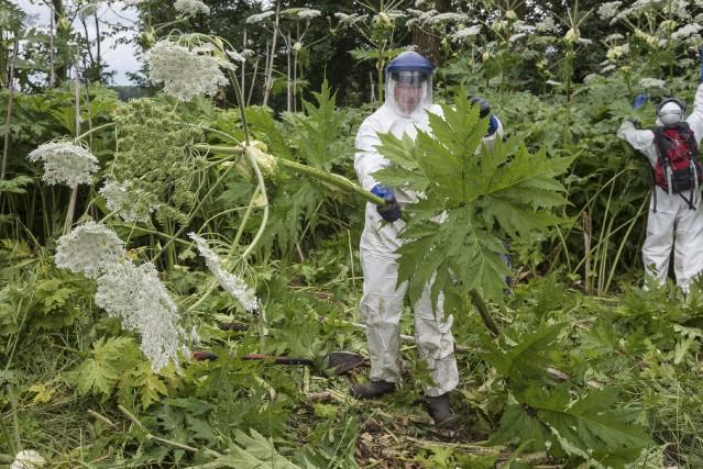 L'équipe de Quadra Environnement s'affaire à éradiquer les... (Spectre média, Frédéric Côté)