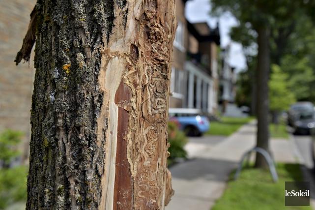 Une première série d'arbres infectés par l'agrile, appartenant... (Photothèque Le Soleil, Patrice Laroche)