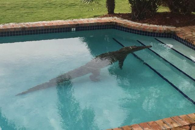 Un crocodile dans une piscine résidentielle à Islamorada,... (ARCHIVES AP)