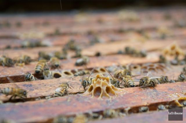 La mortalité hivernale des abeilles est plus élevée que la normale en Estrie.... (Archives La Tribune, Frédéric Côté)