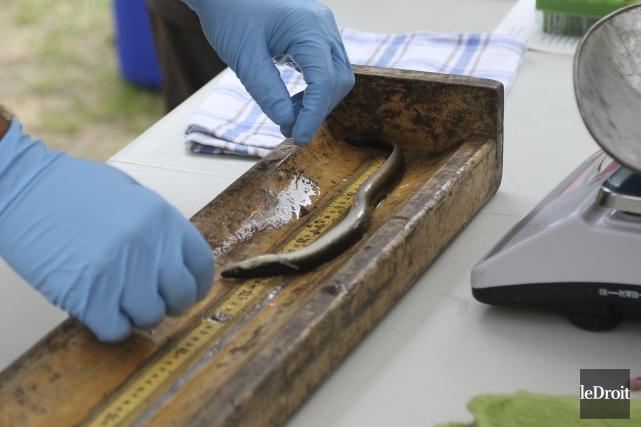 Les anguilles ont été mesurées, pesées et identifiées... (Patrick Woodbury, Le Droit)