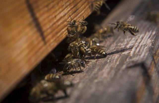 En 2016, l'installation de quatre ruches dans le... (François Gervais)