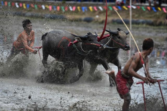 Pendant ces courses de buffles, les jockeys en... (AFP, Lillian Suwanrumpha)