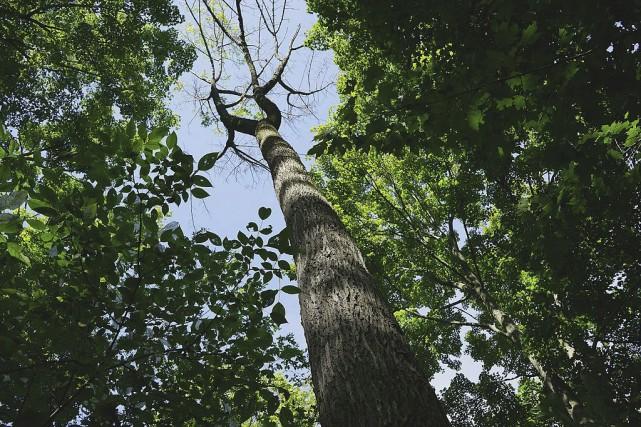 Le premier symptôme d'une infestation d'agrile du frêne... (Wikimedia Commons, Michael Hunter)