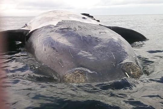 Une carcasse de baleine noire trouvée à Percé... (Archives Palme Production)