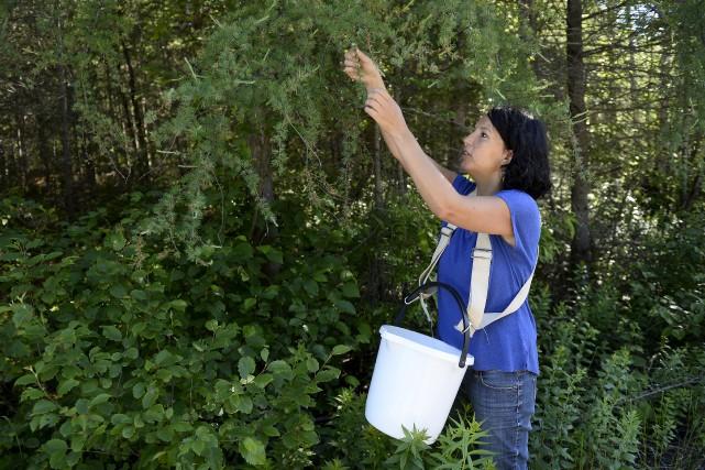 Mélanie Sheehy, fondatrice de l'entreprise d'herboristerie Herboréal, à... (Le Progrès, Jeannot Lévesque)