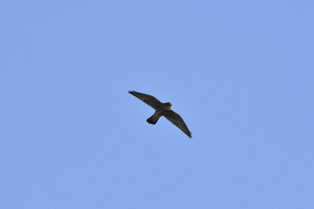 Il semble que ce soit un faucon émerillon... (fournie par Michel Paquette)