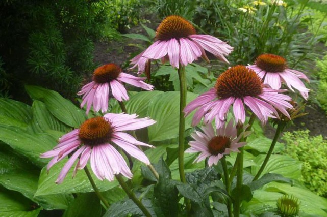 Echinacea purpurea «Magnus»: originaire de l'est du continent, du... (Photo Pierre Gingras, collaboration spéciale)
