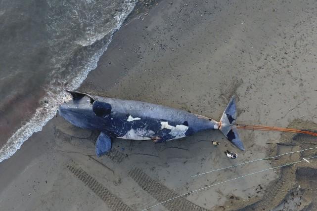 C'est à une «tâche énorme et complètement imprévue» à laquelle s'activent les... (Marine Animal Response society)