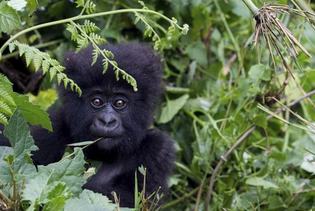 Le massif des Virunga, aux confins du Rwanda,... (AFP, Ivan Lieman)