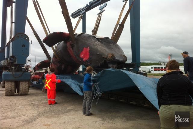 Une baleine noire est sortie de l'eau en... (archives La Presse)