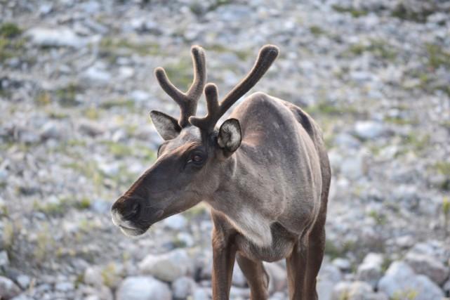 Plus de 80 % des troupeaux de caribou... (PHOTO ARCHIVES LA PRESSE CANADIENNE)