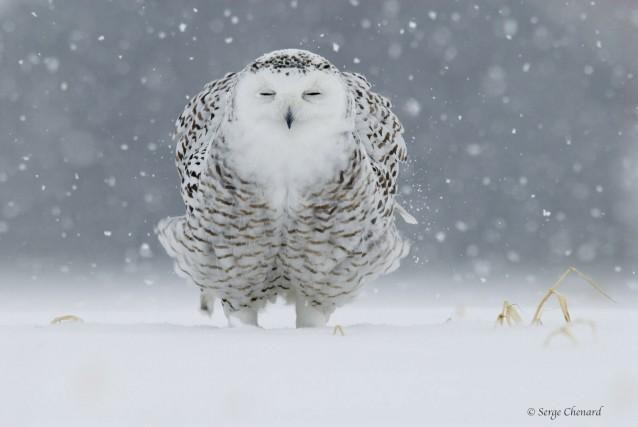 C'est la photo de ce harfang des neiges... (Photo fournie par Serge Chenard)