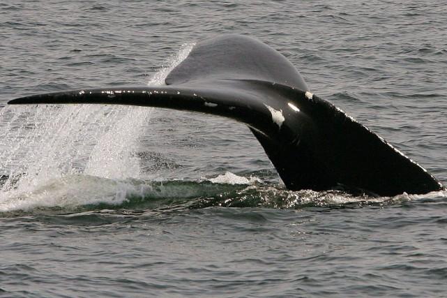 Au moins 10 baleines noires sont mortes depuis... (Photo ARCHIVES AP)