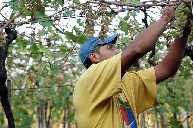 La récolte italienne commence avec le pinot et... (PHOTO MARTINO MASOTTO, ARCHIVES ASSOCIATED PRESS)