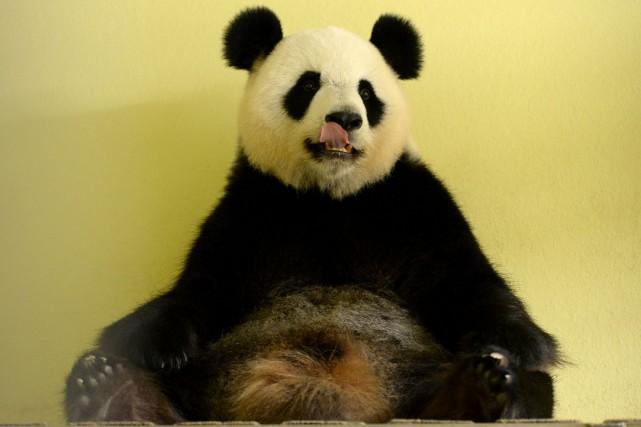 Huan Huan («Joyeuse»), la panda femelle prêtée par... (Photo AFP)
