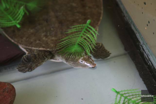 La tortue-molle à épines était la grande vedette... (Julie Catudal, La Voix de l'Est)