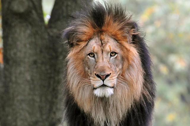 La population de lions au Kenya est passée... (AFP, Karen Bleier)
