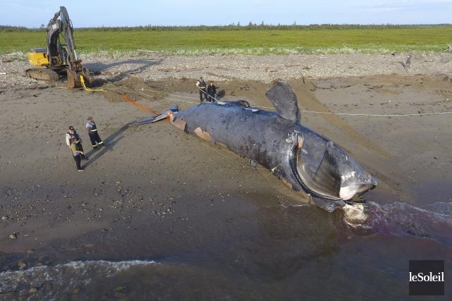 L'observation d'au moins 10carcasses de baleines noires depuis... (Photothèque Le Soleil)