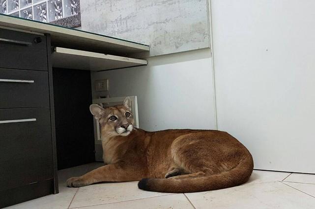Le puma sauvage avait élu domicile dans les... (Photo AFP)