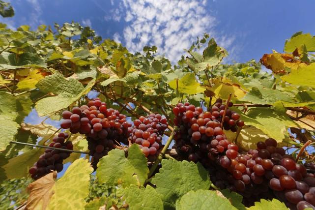 Gel, canicule printanière suivie d'un été sec, le vignoble français n'a pas été... (PHOTO ARCHIVES Reuters)