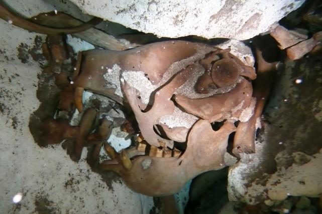 Le crâne d'un paresseux géant qui aurait vécu«entre... (Photo AFP)