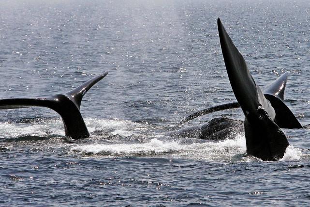 Le nombre de baleines noires de l'Atlantique Nord... (AP, Stephan Savoia)