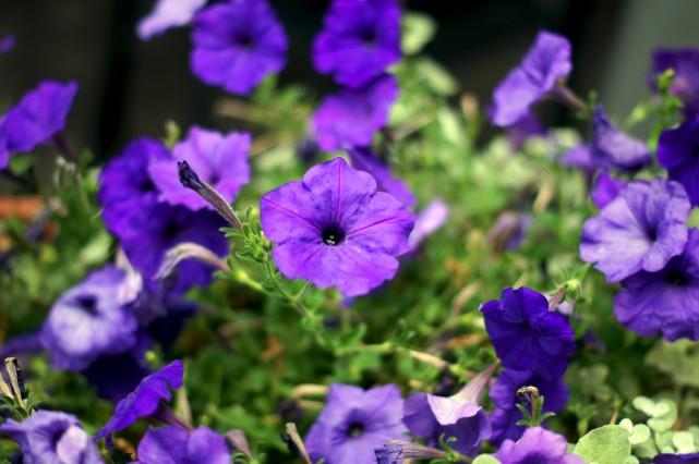 Le pétunia violet... (123RF/Anna Bogosh)