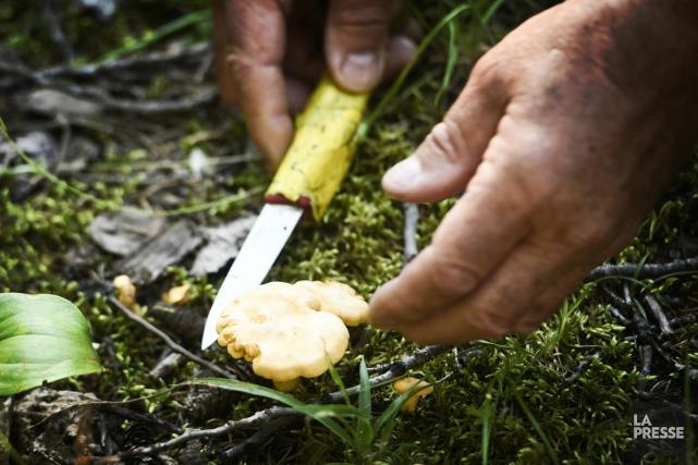 Les aliments venus de la forêt boréale gagnent en popularité dans les... (PHOTO BERNARD BRAULT, LA PRESSE)