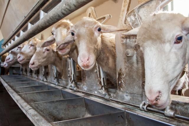 Les producteurs de lait de brebis interpellent les... (123RF)