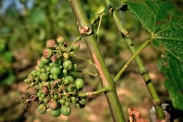 Les viticulteurs de Bourgogne, qui viennent de donner... (PHOTO ARCHIVES AFP)